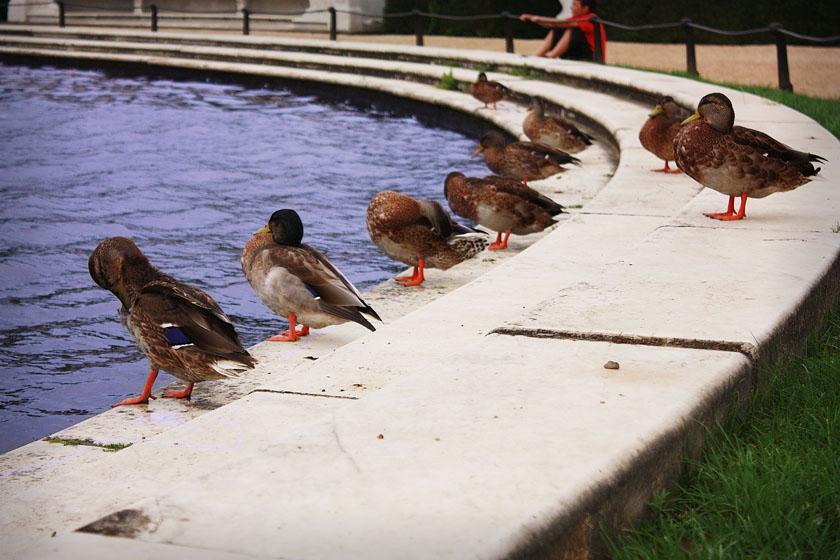 Ducks in Potsdam